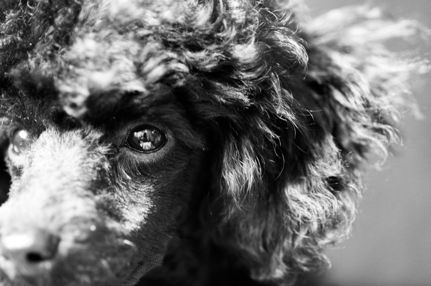 Moniqua One Animal Domestic Animals Pets Dog Animal Themes Close-up No People Mammal Day Outdoors Puddle Puddleography Puddles Puddlephotography Puddle Dog Dog Eye Dog View Pet Portraits Pet Photography  Black And White Friday