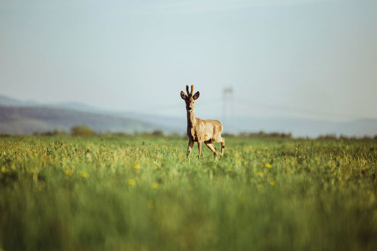 Portrait of deer on field against sky