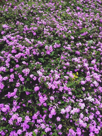 Purple Flower Tahu Lembang...