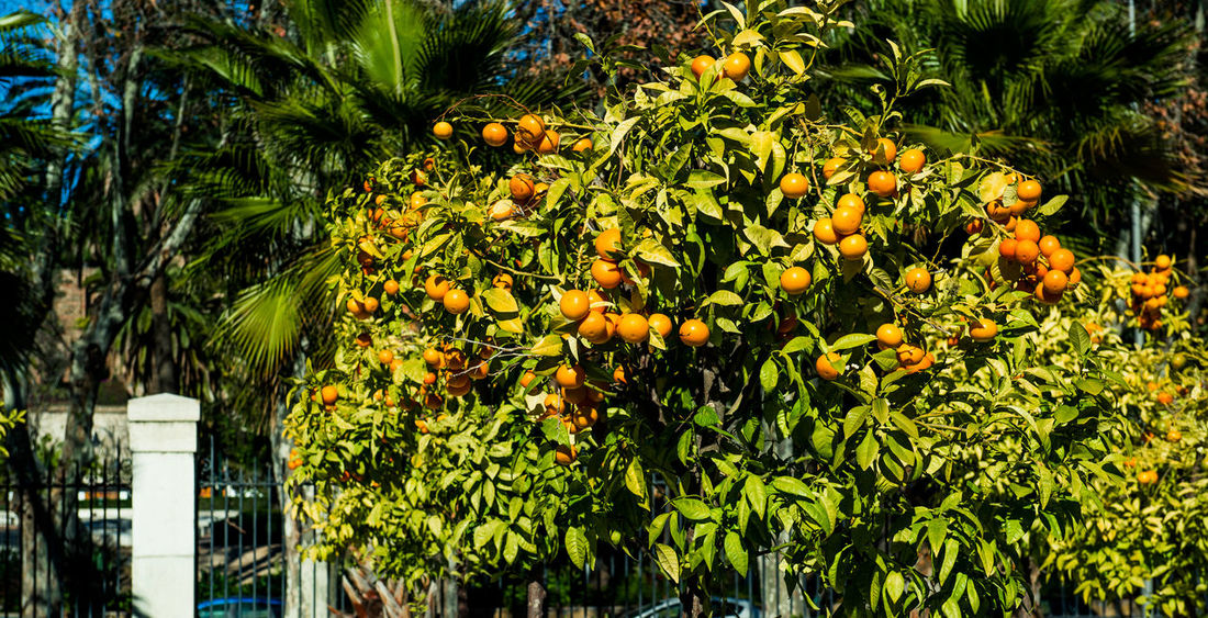 Orange trees. Malaga, Spain Malaga Nature SPAIN Sunlight Winter Wintertime Beauty In Nature Beauty In Nature Fruit Fruit Tree Growth Mandarin Mandarin Tree No People Nobody Orange - Fruit Orange Tree Outdoors Season  Sunny Day Tangerine Tangerine Tree Tropical Climate