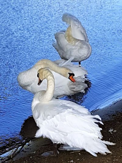 Swan Water Animals In The Wild Beauty In Nature