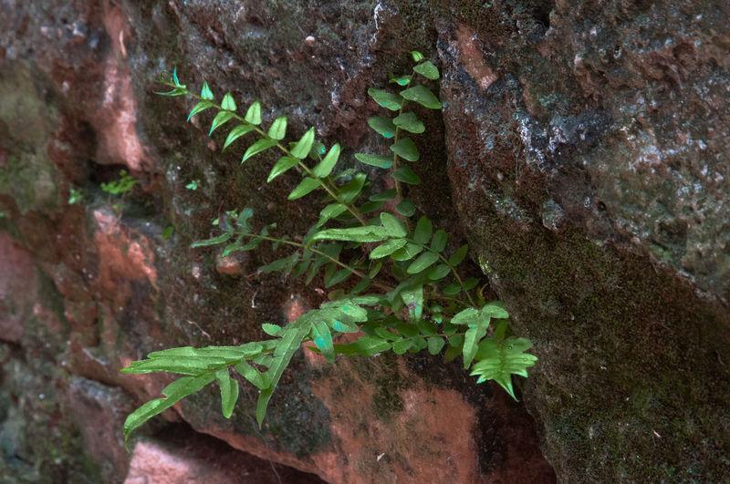 Samambaia Plant