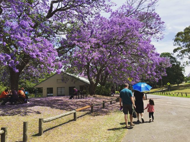 Purple fare... People Photography Leisure Activity Sitting Trees Beauty In Nature Scenery Nature IPhoneography Jacaranda Tree Purple Flowers Blue Umbrella