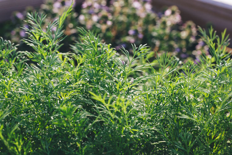 fragrant dill plant Agriculture Cooking Dill Green Herb Herbs Aroma Aromatic Beauty In Nature Botany Close-up Freshness Garden Gardening Green Color Growth Herb Leaf Nature Organic Outdoors Plant Plant Part