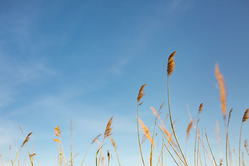 spikes of grass in the blue sky Aehre Blade Of Grass Himmel Schilf Agriculture Beauty In Nature Blue Close-up Copy Space Crop  Day Grashalm Grass Growth Land Low Angle View Nature No People Outdoors Plant Reed Scenics - Nature Sky Spike Tranquil Scene