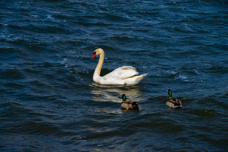 Water Swan Swam