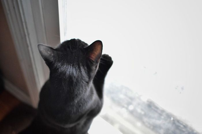 Domestic Animals Pets Domestic Cat One Animal Animal Themes Mammal Feline Day Indoors  No People Siamese Cat Pet Photography  Cats Of EyeEm Cat Black Cat Wintertime Cold Temperature Indoor Photography Door Cats High Angle View Winter Looking Out Of The Window