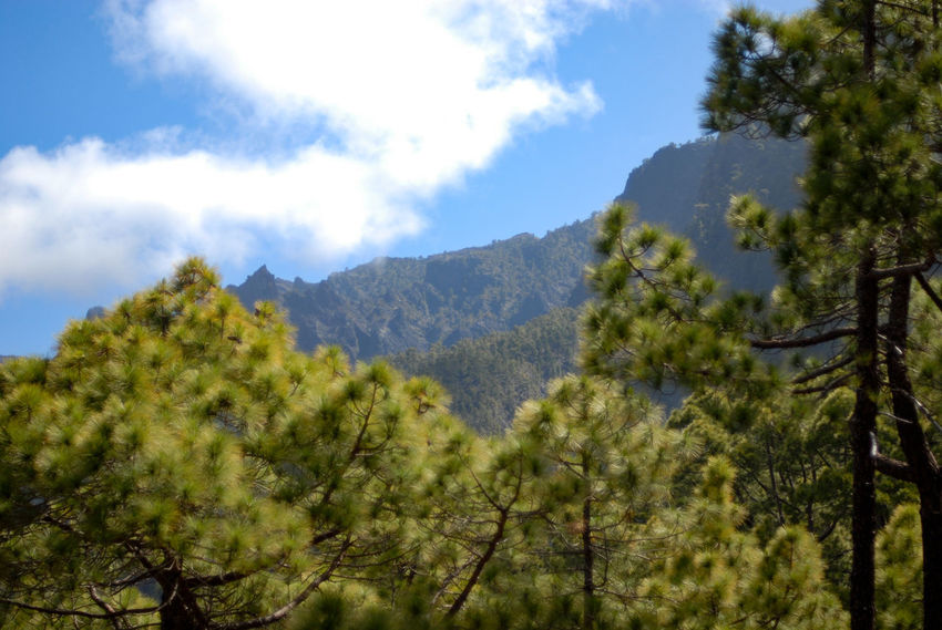 In the forest Canarias Canary Islands Green La Palma, Canarias Beauty In Nature Blue Cloud - Sky Coniferous Tree Day Green Color Growth Idyllic Land Mountain Mountain Range Nature No People Outdoors Plant Scenics - Nature Sky Tranquil Scene Tranquility Tree