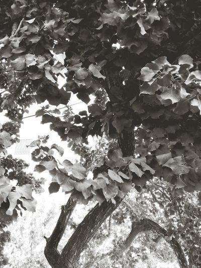 Blackandwhite Tree Nature Blackandwhitetrees First Eyeem Photo