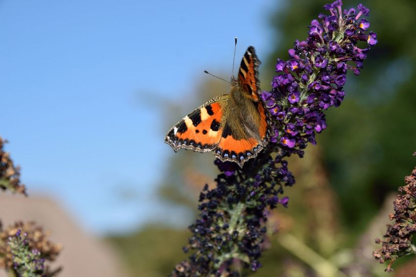 Aglais Urticae - Small Tortoiseshell Buddleja Davidii Small Tortoiseshell Aglais Urticae Animal Themes Animal Wing Animals In The Wild Beauty In Nature Butterfly Butterfly - Insect Close-up Flower Flower Head Flowering Plant Fragility Insect No People One Animal Outdoors Pollination Purple Summer Lilac