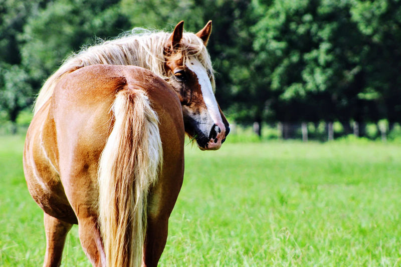 Close-up of a gypsy horse on field