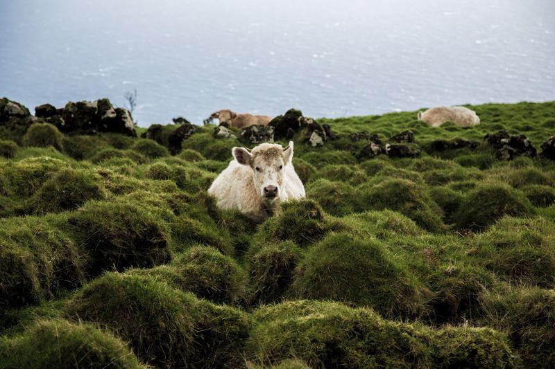 Kuh Livestock