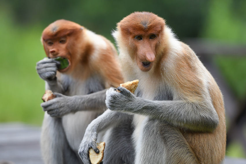 Proboscis Monkey Animal Animal Wildlife Outdoors Animal Themes Sabah Tourism Sandakan Labuk Bay Sabah Borneo Animals In The Wild Sitting Nature Monkey