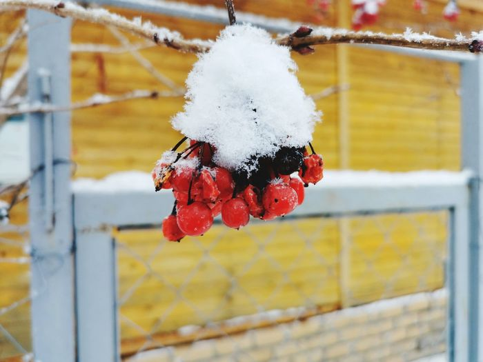 Close-up of berries on snow