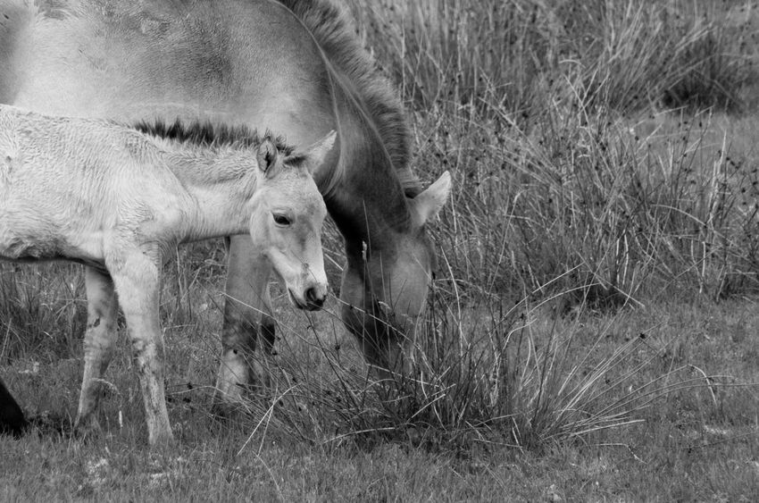 The Highland Wildlife Park on a rainy day. Horses Przewalski's Horse Rain Scotland Animal Themes Animals Black And White Day Field Foal Grass Highland Wildlife Park Mammal Monochrome Nature No People Outdoors Scottish Highlands Wildlife Young Animal