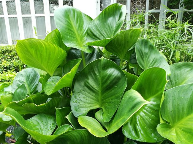 Green Color Leaf Growth Day Nature No People Plant Freshness Outdoors Large Group Of Objects Abundance Plant