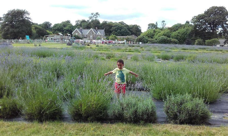 wexford lavender farm. Wexford Gorey Inch Lavender Farm Fine Art Photography