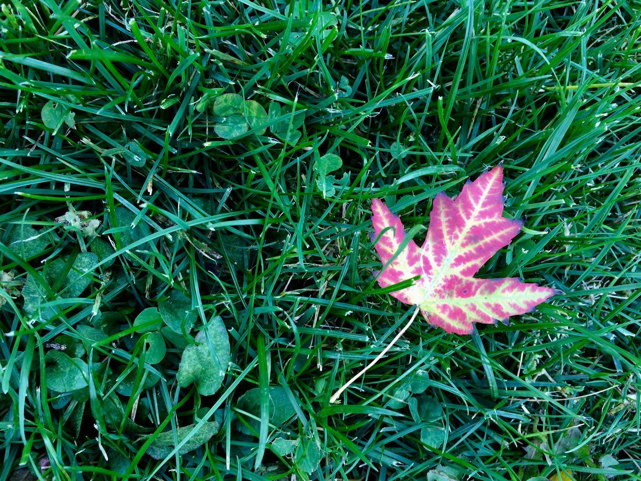 autumn maple leaf in the grass Plant Green Color Growth Nature Flowering Plant Land Field Beauty In Nature Grass High Angle View Pink Color Vulnerability  Freshness Leaf Fragility Day Plant Part No People Close-up Outdoors Purple Autumn Change Backgrounds Season  Maple Close Up