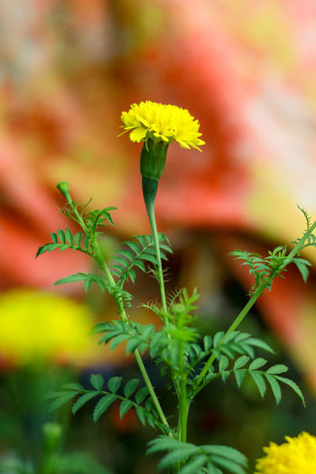Flower Flowering Plant Plant Growth Freshness Close-up Beauty In Nature Fragility Selective Focus Vulnerability  Nature No People Plant Part Green Color Leaf Yellow Plant Stem Day Petal Focus On Foreground Outdoors Flower Head Herb Flower Pot