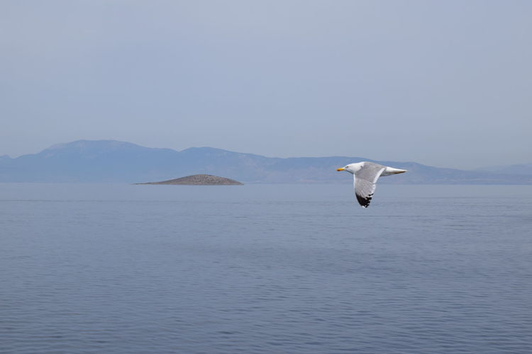 Side View Of A Seagull Flying Over Calm Sea
