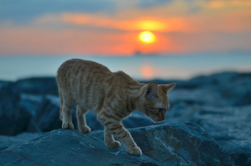 Cat on beach against sky during sunset