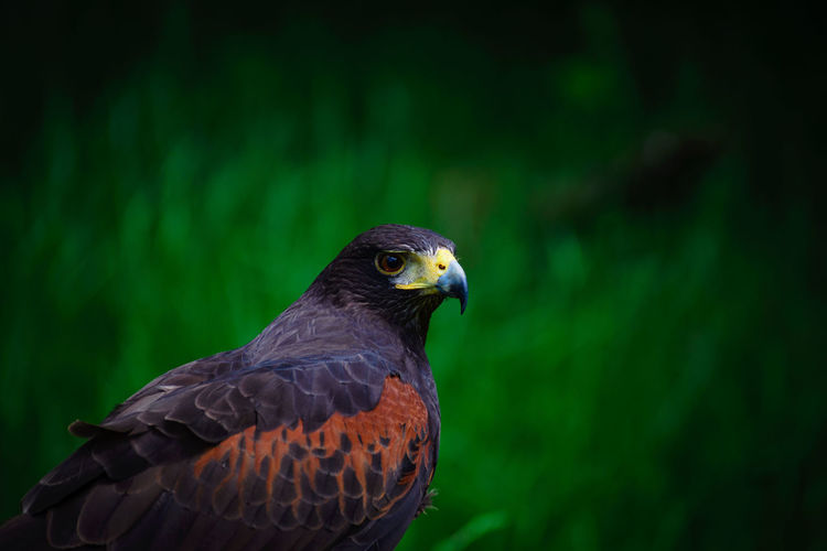 Animal Themes Animal Wildlife Animals In The Wild Bird Bird Of Prey Close-up Day Focus On Foreground Full Frame Hawk Nature Nikon D600 Nikonphotography No People One Animal Outdoors Perching Tamron Lens The Great Outdoors - 2017 EyeEm Awards Portrait Domestic Animals Falcon Beauty In Nature