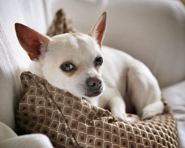 Close-up of puppy resting on sofa