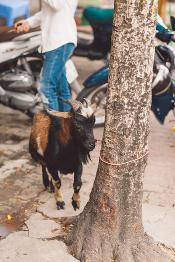 Goat tied with rope on tree trunk