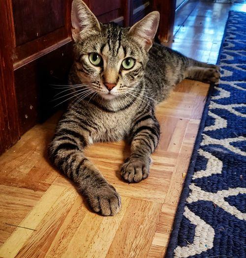 Portrait of a cat on wooden floor