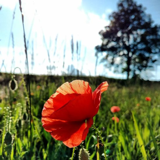 Poppy Flowers PoppySeed Red Flower Nature Nature_collection Nature Photography