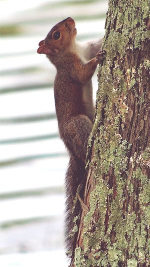 Squirrels No People Animal Wildlife Animals In The Wild One Animal Tree Trunk Tree Nature Animal Themes Outdoors Day Bird Close-up Beauty In Nature Mammal