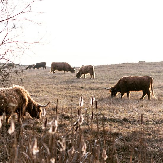 Animals In The Wild Animal American Bison Mammal Nature No People Landscape Outdoors Clear Sky Switzerland Swiss Cow Cows Catle