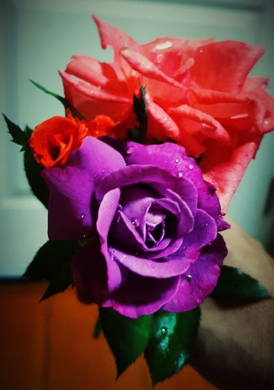 sad ... Rose - Flower Roses Roses🌹 Rose Purple Gray Roses Flowers  Sad Sad :( Sad Day Sosad😣😦 Sosad Flower Head Flower Water Petal Rose - Flower Peony  Close-up Plant
