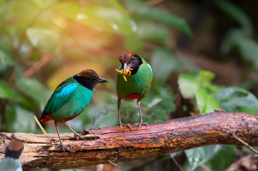 Green bird,with worm in mouth. Hooded pitta ( pitta sordida ) making a living in their habitat. Animal Bird Green Color Hood Migration Pitta Sunlight Tropical Climate Worm