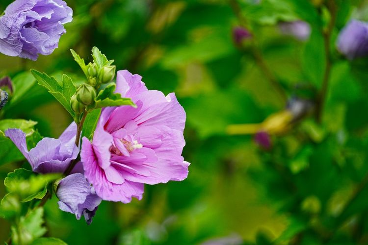 Hibiscus Flowering Plant Flower Plant Vulnerability  Freshness Fragility Beauty In Nature Petal Growth Close-up Inflorescence Flower Head Focus On Foreground Pink Color Nature No People Day Purple Plant Part Outdoors
