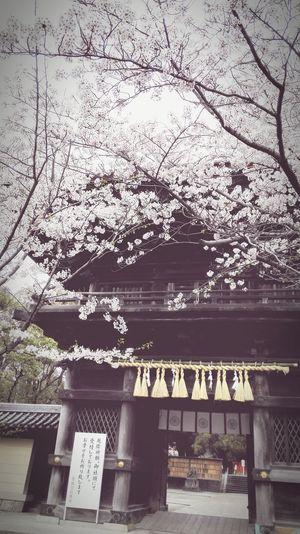 Sakura Cherry Blossoms Shrine EyeEm Meetup Fukuoka Fukuoka,Japan Spring Flowers Springtime Japanese Shrine