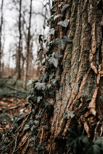 Close-up of lichen on tree trunk in forest