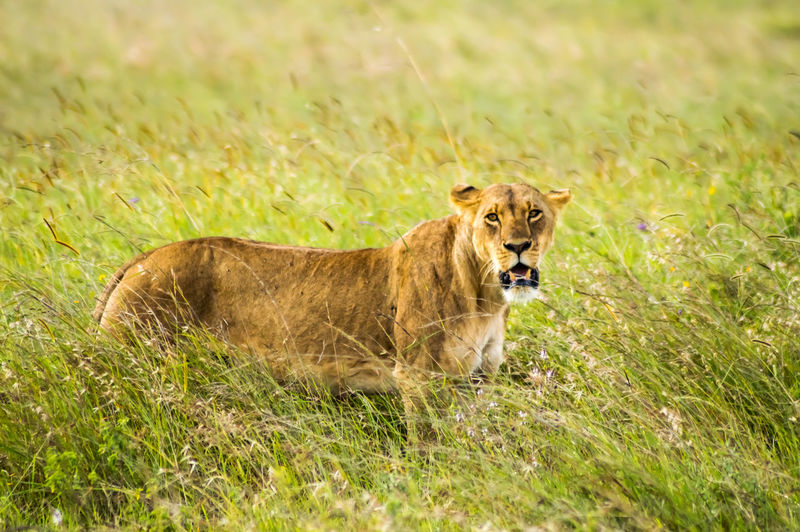 Grass Animal Animal Wildlife Animals In The Wild Plant Animal Themes Mammal Lion - Feline Feline Land One Animal Field Cat Nature Vertebrate No People Day Carnivora Portrait Outdoors Lioness Mouth Open Nairobi Nairobi National Park Africa