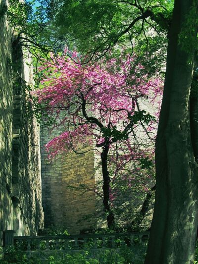 Tree Purple Pure Historical Building Colors Coffee Time Heaven Tree Heaven Spring Nature