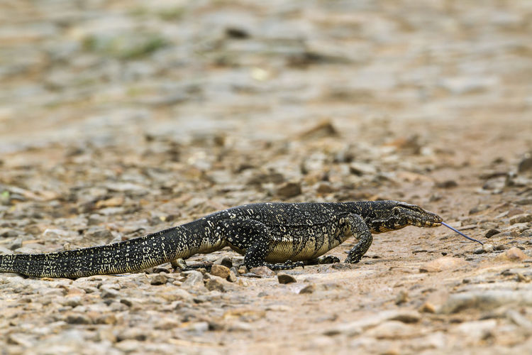 Close-up of lizard on land