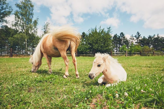 Mare with foal of the miniature horse on the pasture. Agriculture Animal Themes Baby Animals Care Country Life Countryside Cute Farm Farm Life Field Foal Grass Grazing Livestock Mare Mini Horse Miniature Horse Nature No People Outdoors Pasture Pony Ranch Ranch Life Rural Scene
