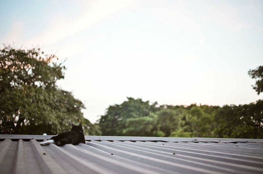 Cat Portrait Cat Cats Of EyeEm Chilling Rooftop Rooftop View  Enjoying The View Sunset Evening Life Is Simple Pets Furry Friends My Point Of View Feline Companions Cat Photography Relaxing Relaxation Relaxing Moments