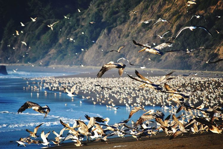 Pelicans birds beach Oregon coast Animal Themes Animals In The Wild Wildlife Bird Flying Water Spread Wings Seagull Zoology Vertebrate Sea Rock - Object Flock Of Birds Nature Non-urban Scene Togetherness Rock Avian Tranquility Animal Wing