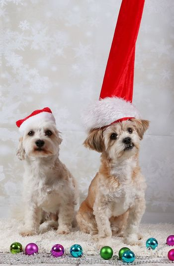 Portrait of dogs wearing santa hats by christmas decorations at home