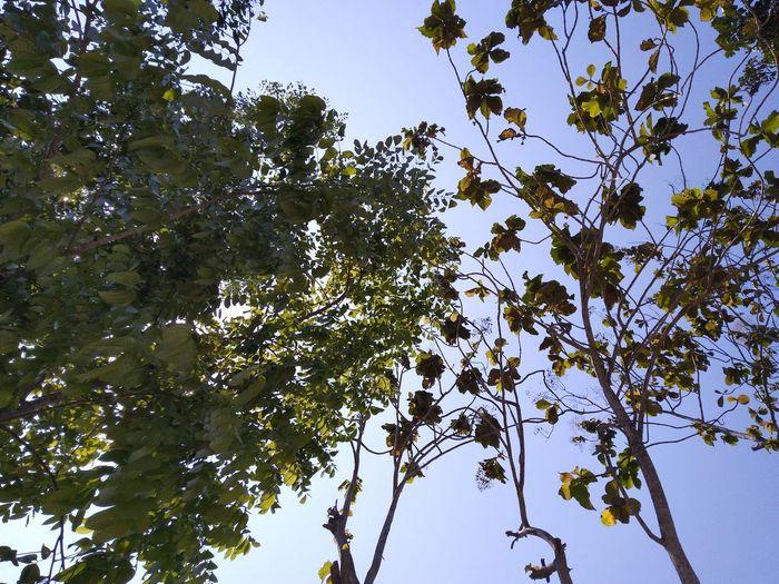 pohon Sun