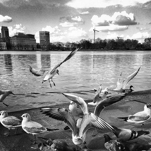 Möwenfreude.fotografierte Action und ich mitten drin 🐦😁 Taking Photos Hamburg Möwe Möwenleckerbissen Followme Jungfernstieg Seagull Seagulls Hansestadt Animals