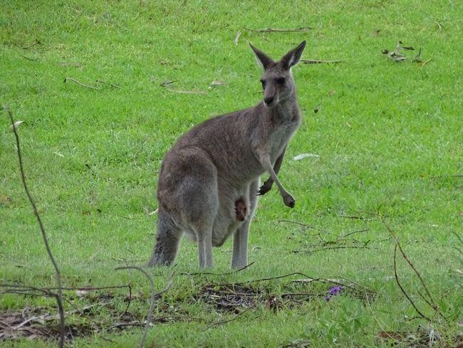 Baby kangaroo in mummy's pouch Kangaroo Australia KangarooJack Oz Animal Animal Photography Animals In The Wild