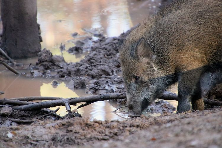 Wild Boar Boar Drinking Puddle Mud Animal Animal Themes Water Close-up