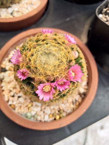 Mammillaria แคคตัส ขายแคคตัส ขายกระบองเพชร ไม้อวบน้ำ ไม้กราฟ กระบองเพชร Cacto Cactusthailand Cactus Cactuslover Cactusclub#cacti Cactusmagazine#succulent Cactuslove Salecactus#succulentthailand#welovecactus Succulents Succulove Cactusplanet Cactishop Cactilove EyeEm Selects Flower Flower Head Close-up Plant