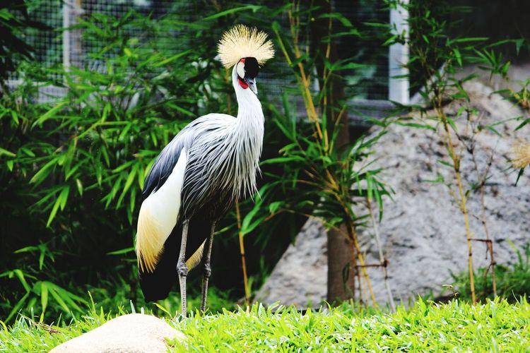 Grey Crowned Crane On Field